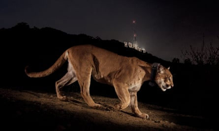 NGS Picture ID:1741447 A remote camera captures a radio collared cougar in Griffith Park.