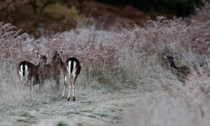A group of wild fallow deer does on a forest track in the Forest of Dean.