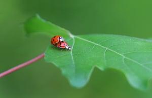 Ladybirds mate in Denklingen, southern Germany