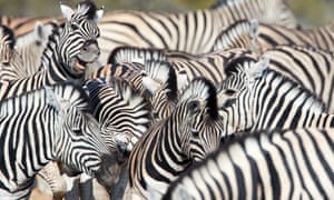 A herd of zebras brawl by the waterhole in Etosha national park, Namibia