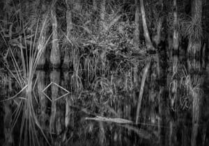 Alligator in the still waters of the Florida Everglades.