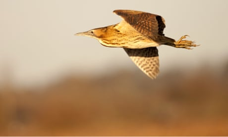 Bitterns, curlews and lapwings at risk as vital wildlife funds dry up
