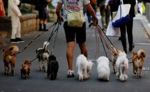 Tokyo, Japan. A dog walker takes a stroll through the city