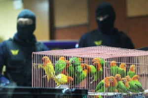 Customs officers show illegally trafficked birds at Seokarno Hatta international airport in Tangerang Indonesia. A total of 25 love birds, 377 ivory, pythons type of ring, 58 turtles and 150,885 baby lobsters smuggled from Lagos, Abu Dhabi, and Hongkong were captured by the authorities.