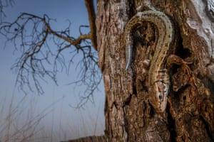 Animal portraits category: William Harvey, 'Common Lizard', Surrey, England