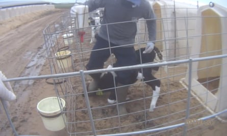 A still from the video, which appears to show workers beating and kicking calves