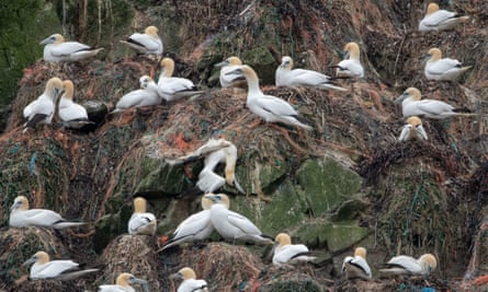 Nesting gannets on Alderney. The Wildlife Trusts fear seabirds - here already endangered by plastic waste - will be threatened by a build-up of rats eating eggs.