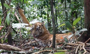 A Sumatran tiger snared by poachers in the Kerinci Seblat national park in Muko-Muko, Bengkulu province of Indonesia. In 2012, conservationists found 120 traps set up by poachers in the park.
