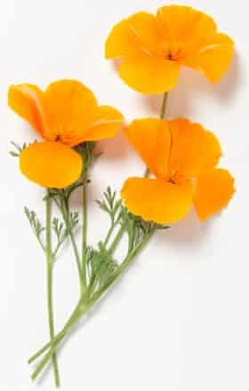 Orange flowers from Eschscholzia californica (California poppy) on white background