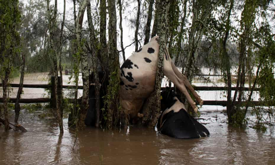 Dead cattle hung up on trees on Oxley Island, east of Taree, in the NSW floods