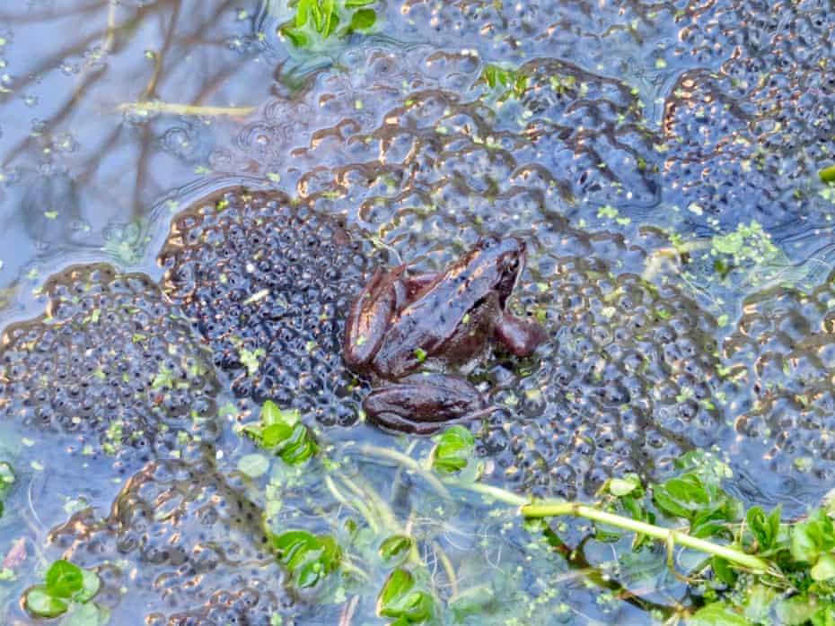 Frogspawn, Barbican wildlife garden