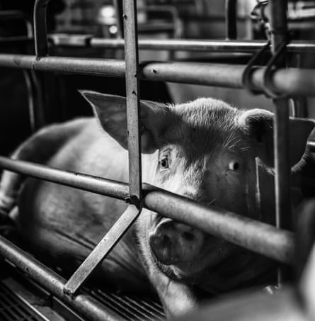 Sow looks through the bars of her gestation crate