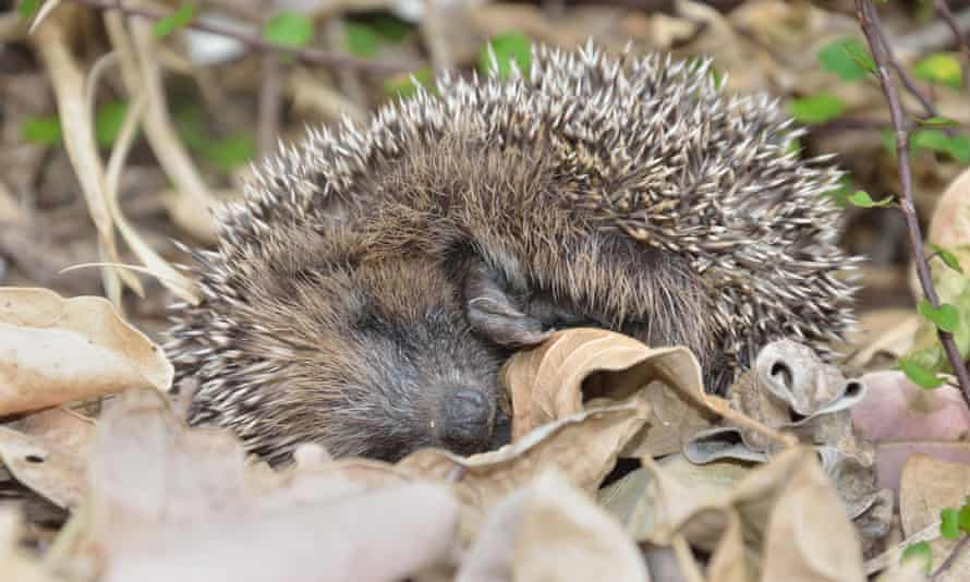 A young hedgehog plays possum after being disturbed in the garden.