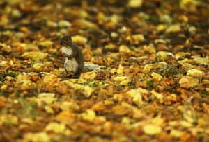 A squirrel among autumn leaves in Dublin's Phoenix park
