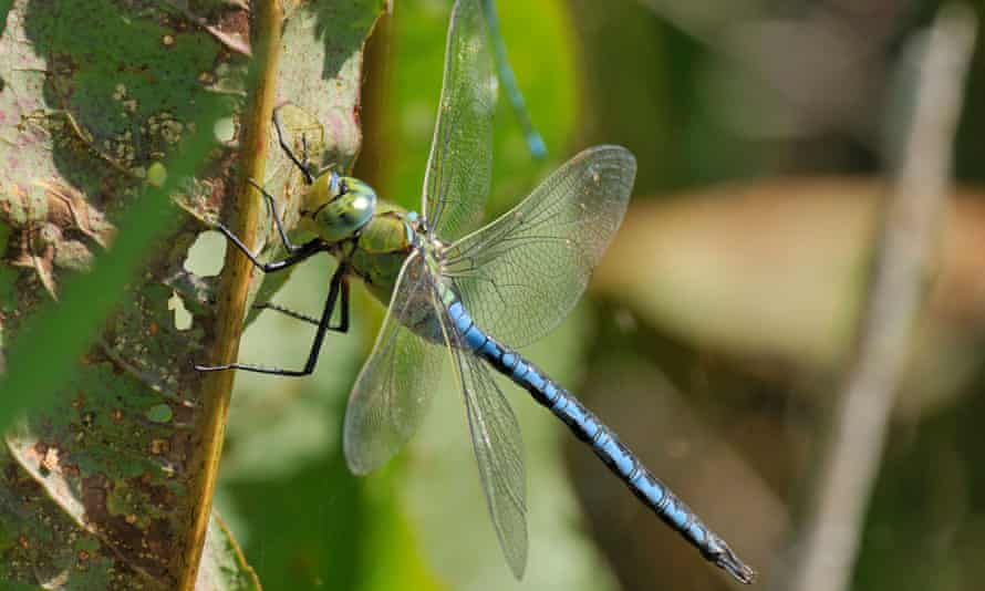 The Emperor Dragonfly (Anax imperator), Britain's biggest species, is thriving.