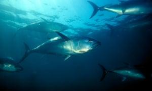 Nothern bluefin tuna swim in the Pacific Ocean.
