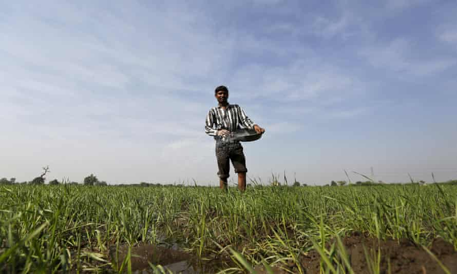 A farmer spreads fertiliser in his wheat field on the outskirts of Ahmedabad. Drought has led to a spate of suicides in India's rural heartland.