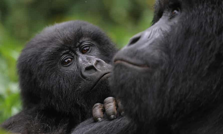 A juvenile gorilla leans on the shoulder of an adult male in the Virunga national park, DRC