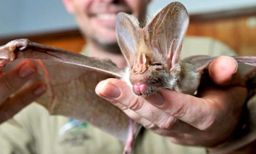 A ghost bat bats receives a medical check-up in Darwin, Australia.