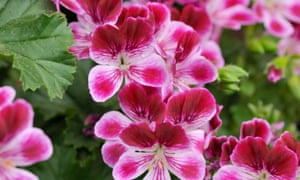 A close-up of pink pelargonium flowers