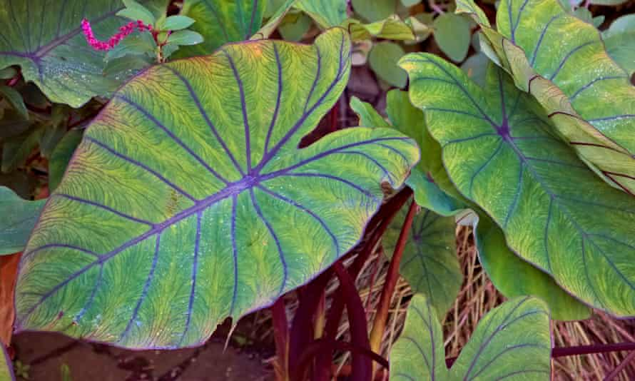 Colocasia esculenta 'Blue Hawaii'.