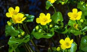 Flowering kingcups or marsh marigolds (Caltha palustris).