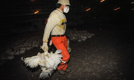 Broiler chickens being collected for slaughter. Spain, 2009.