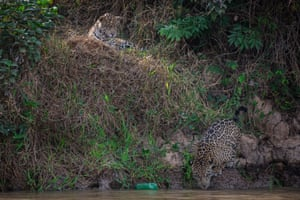A young jaguar plays with a discarded plastic bottle deep in the Pantanal wetlands in Mato Grosso do Sul state