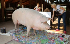 Cape Town, South AfricaPigcasso, a rescued pig, stands in front of the canvas she painted at the Farm Sanctuary in Franschhoek.
