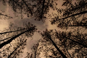 Charred trees in a forest in Talca, Chile that was devastated by a massive fire earlier this year
