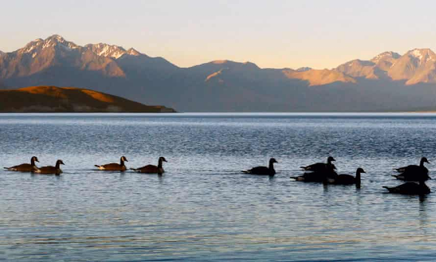 Canada geese on a lake in New Zealand