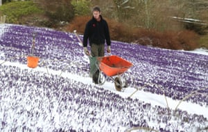 Gardner Chris Orton tends to the crocuses at Wallington Hall in Northumberland