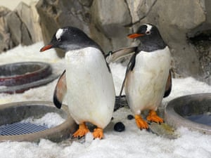 Jones and Klaus, one of two same-sex male gentoo penguin couples who have partnered up for this year's nesting season at Melbourne's Sea Life aquarium in Australia.