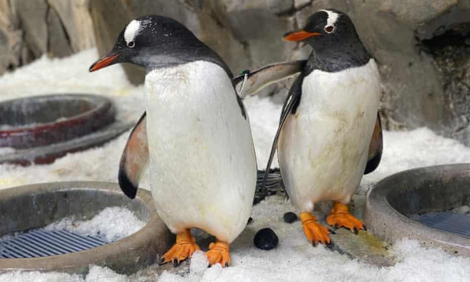 Penguin couple Jones and Klaus
