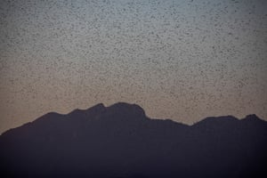 A large swarm of desert locusts near Lekiji, Samburu East, Kenya