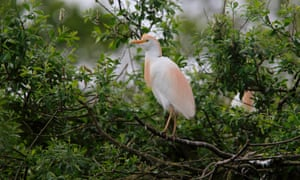 A cattle egret (Bubulcus ibis) in 'nuptial plumes', in France