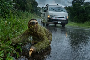 Three-toed sloth on side of road, with truck in background