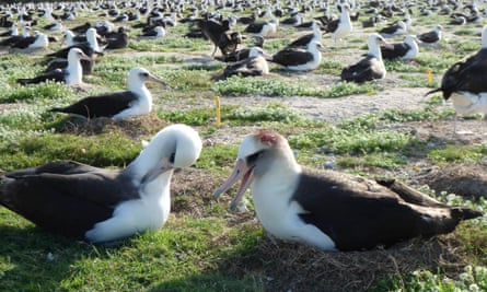 Laysan albatrosses with visible head wounds.