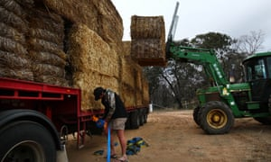 Cassilis merino farmer Cameron Armstrong unloads the fodder delivery as Chris Dornaus gathers up his straps