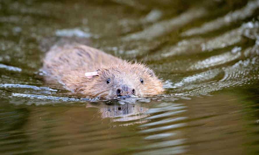 One of an adult pair of Eurasian beavers after being released on the National Trust Holnicote estate in Exmoor, Somerset.