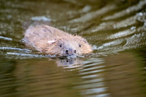 One of an adult pair of Eurasian beavers after being released on the National Trust Holnicote estate on Exmoor in Somerset