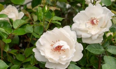 Gardening tips: plant a rose