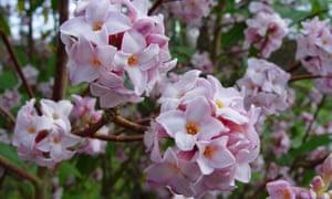 Aroma therapy: Daphne bholua smells like vintage perfume.