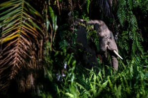 A Borneo elephant emerges from the forest in Sabah
