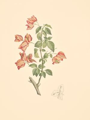 Bouganivillea Spectabilis (Nyctaginacea)