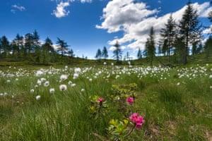 wild flowers in Switzerland, Europe, canton, Ticino, Valle di