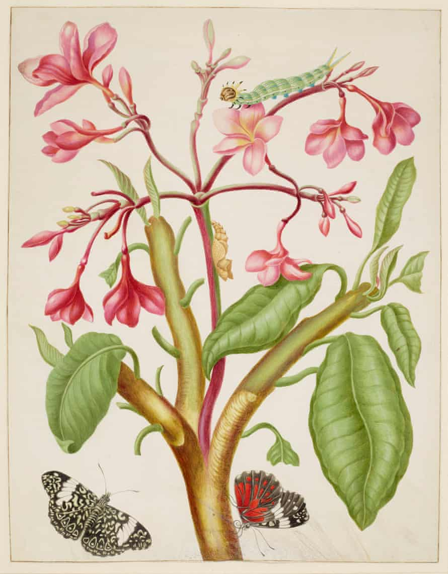 Frangipani plant with red cracker butterfly (1702-03)