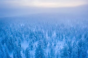 Pine, spaced naturally in an irregular fashion, in a snowcovered landscape.