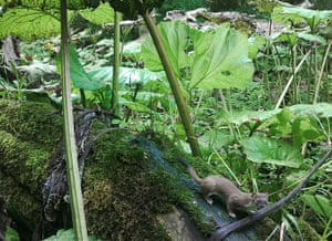 A stoat captured by a camera trap on a riverbank in Deerness Woods, County Durham
