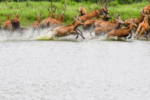 Milu charge out of water at the Dafeng Milu national nature reserve in Yancheng, Jiangsu province, eastern China